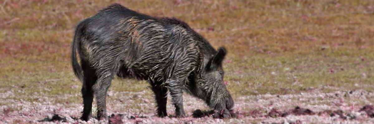 Control del jabalí y el cerdo asilvestrado